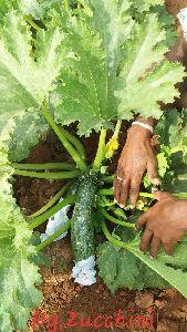 Hybrid Zucchini