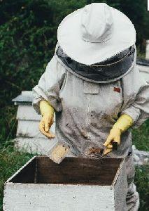 APIS MELIFERA BEES