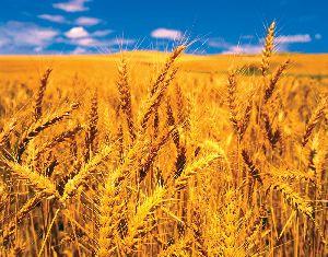 wheat.wheat flour