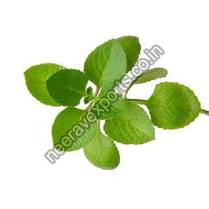 Green Oregano Herb