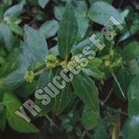 Euphorbia Pilurifera