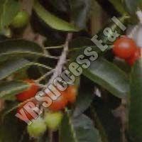 Mimosops Elengi