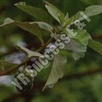 Morinda Pubescens