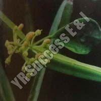Quandrangularis