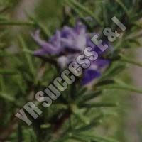 Rosemarinus Officinalis