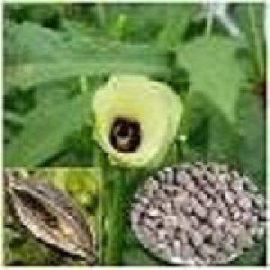 Ambrette Seed Super