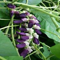 Kaunch Seeds
