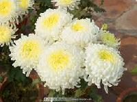 Chrysanthemums Flower
