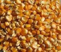 Yellow Corn (maize)