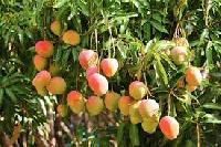 Mango Tree Plants