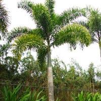 Foxtail (wodyetia Bifurcata) Landscape Plants