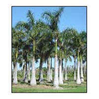 Royal Palm Plant