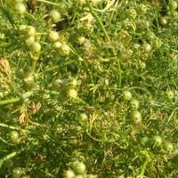 Whole Coriander Seeds