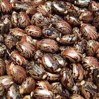 Caster Seeds