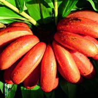 Fresh Red Banana