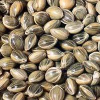 Grey Millet Seeds