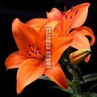 Fresh Lily Flowers