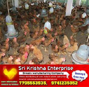 pure country natikoli chicks Manufacturer in Ramanagara