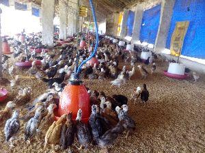 SRS Chicks