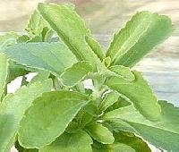 Stevia Plants (02)