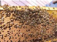 Honey Bee Seeds