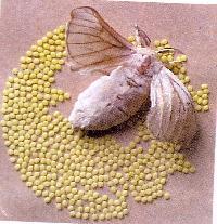 Silkworm Seeds