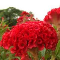 Ornamental Plants