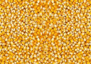 Small Maize Seeds