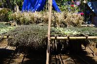 Grass Broom Raw Material Assam