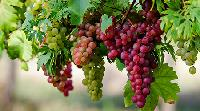Grape Seed Herbal Extracts