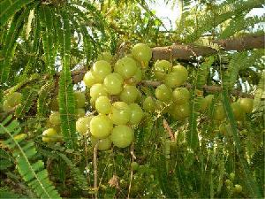 Amla /indian Gooseberry/ Phyllanthus Emblica/ Aonla, Amaliki