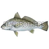 Frozen Croaker Fish