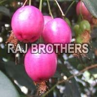 Syzygium Jambos Seeds