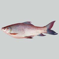 Frozen Rohu Fish