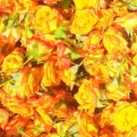Orange Rose Flowers
