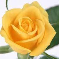 Fresh Yellow Rose Flower