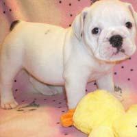 Tito Bulldog Puppies