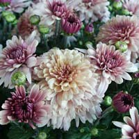 Chrysanthemum Plant