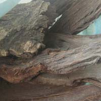 Coleus Root & Inula Racemosa