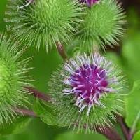 Burdock Root Extract