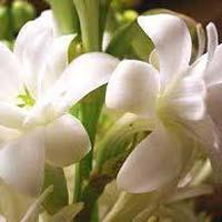 Fresh Tuberose Flower