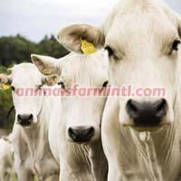 Chianina Cow