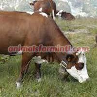 Abondance cattle