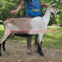 American Alpine Goat