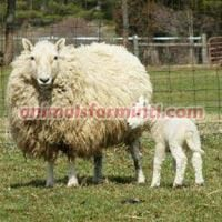American Miniature Brecknock Sheep