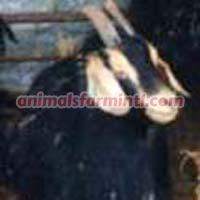 Anatolian Black goat