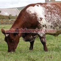 Angeln Cow