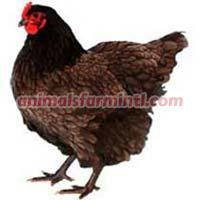 Australorp Chicken