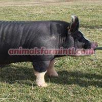 Berkshire  Boar: Double Take