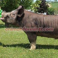 Berkshire  boar: I 4 N Eye